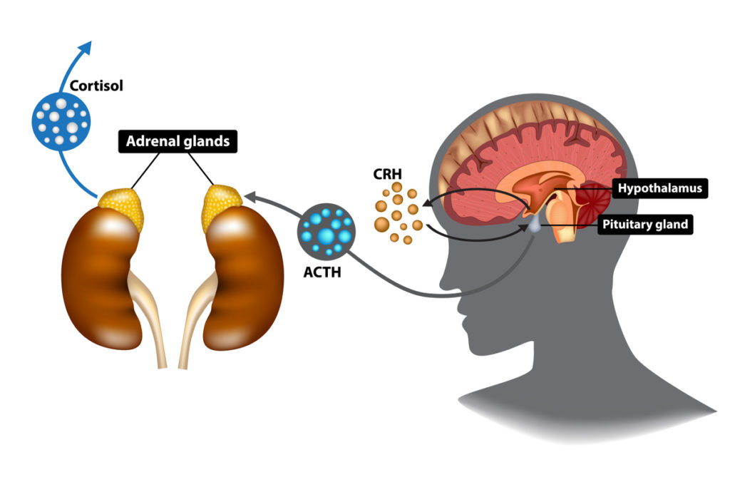 How is cortisol produced
